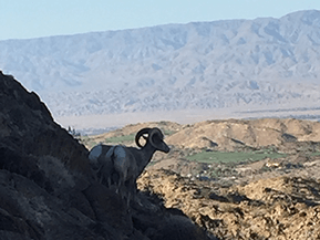 ram in the desert